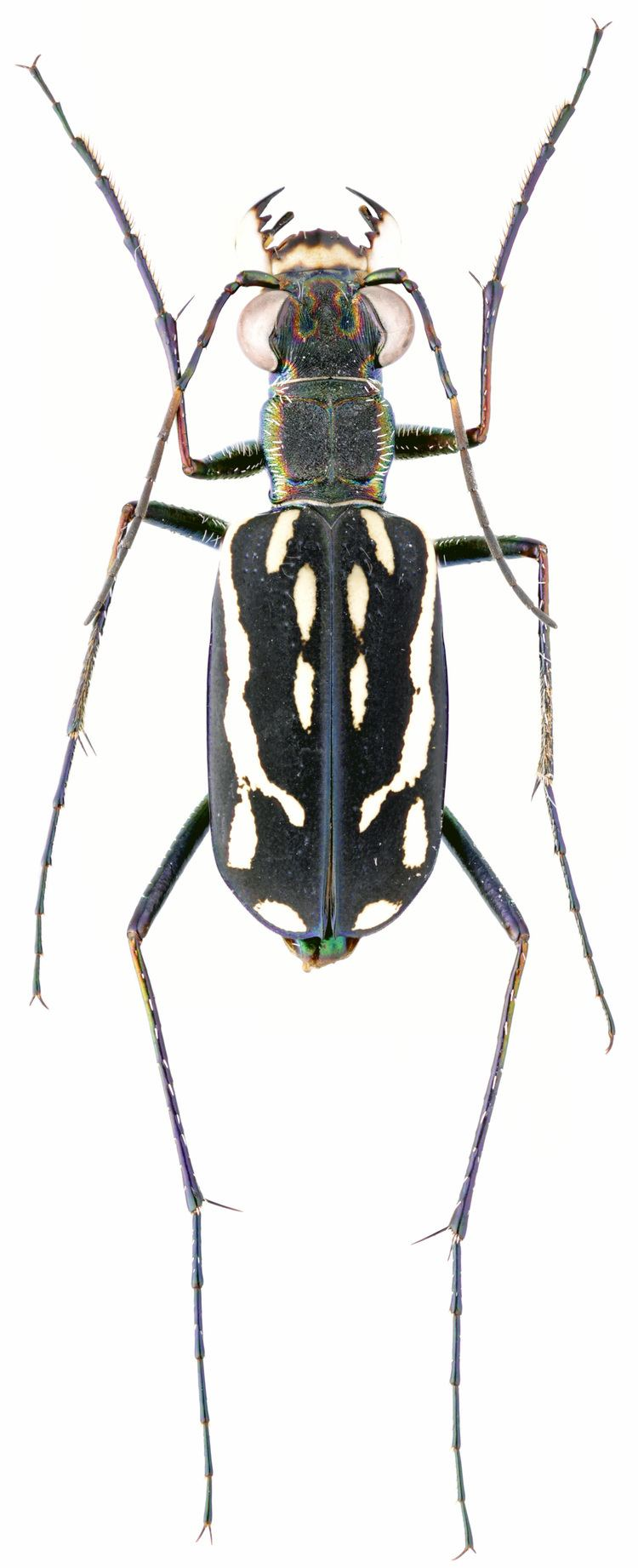 Lophyra Lophyra Spilodia striolata Illiger 1800 Carabidae