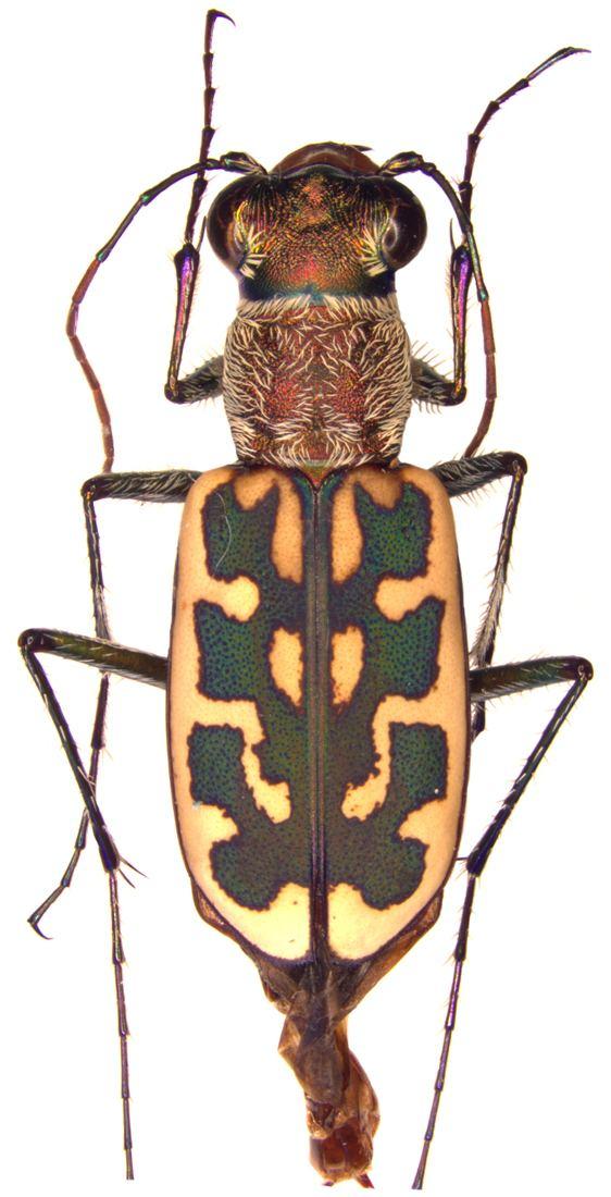 Lophyra Subtribe Cicindelina Latreille 1802 Carabidae