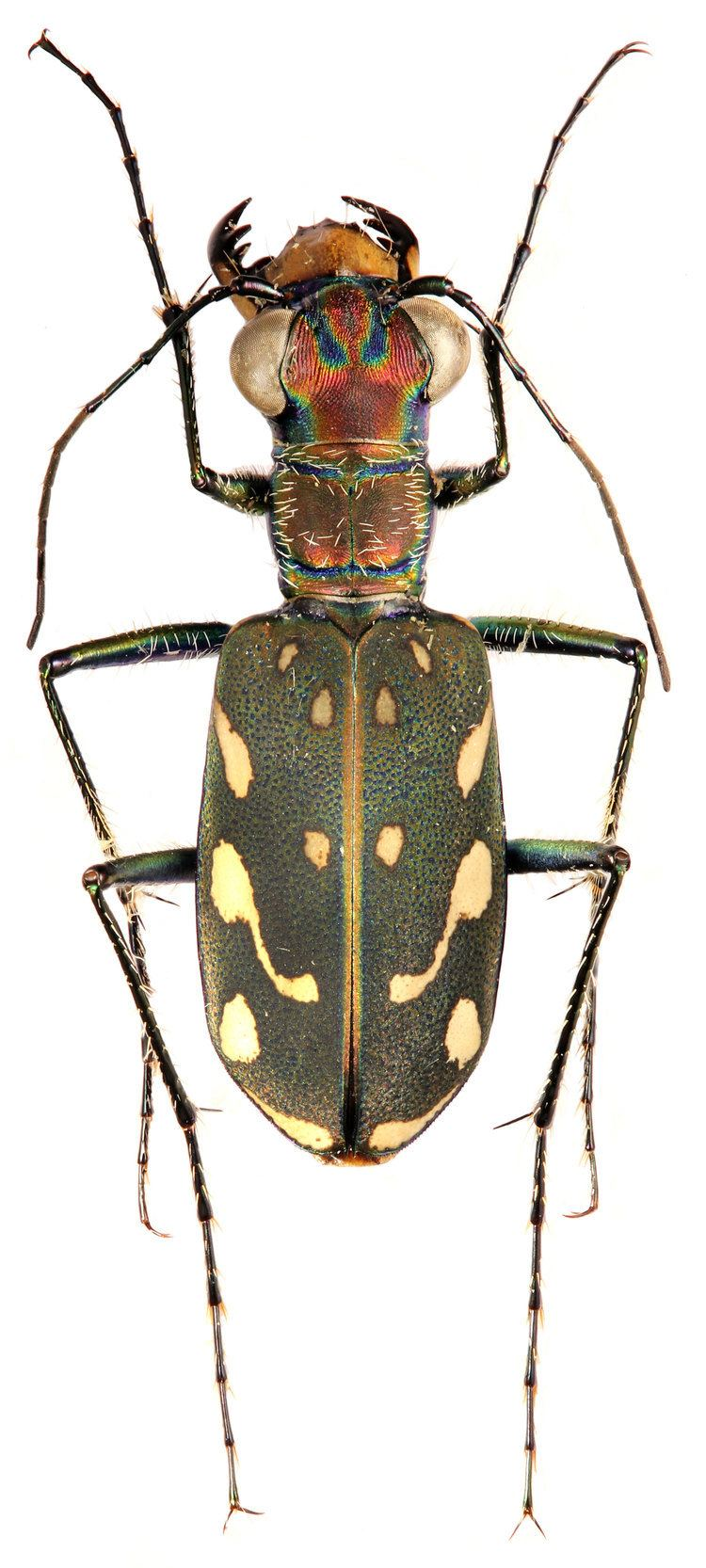 Lophyra Genus Lophyra Motschulsky 1859 Carabidae