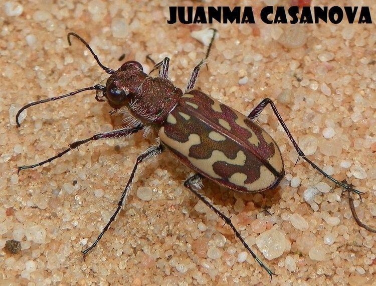 Lophyra Lophyra Cicindela flexuosa Fabricius 1787 Mi blog de bichos
