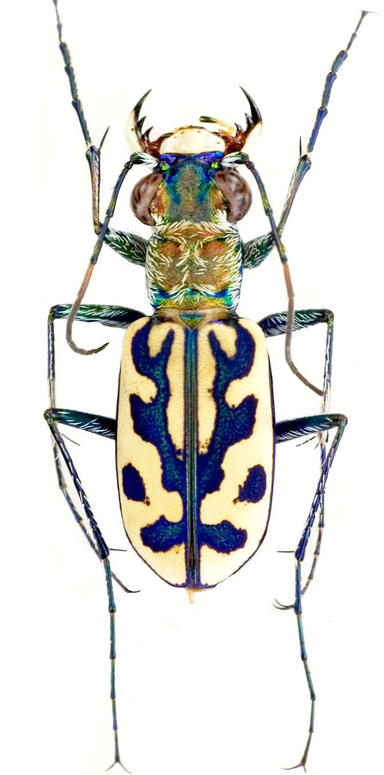 Lophyra carabidaeorgcarabidaeLophyra20Lophyra20seigno