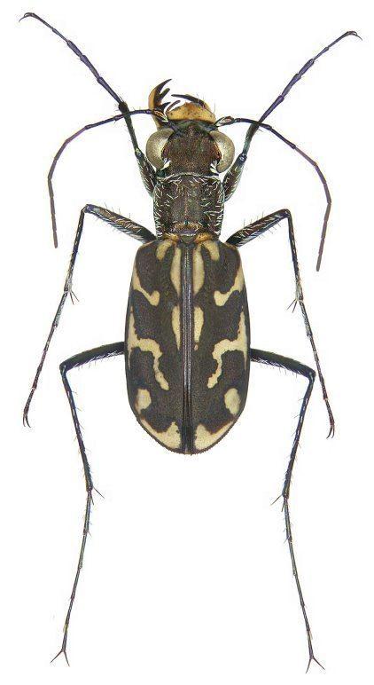Lophyra Subgenus Lophyra sensu stricto Carabidae