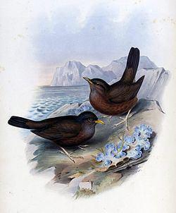 Lord Howe thrush httpsuploadwikimediaorgwikipediacommonsthu