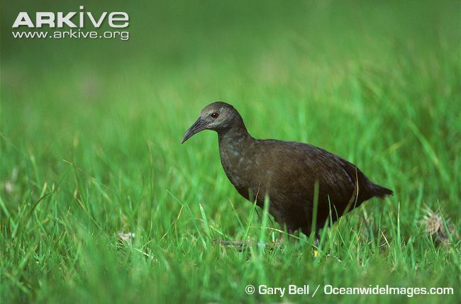 Lord Howe woodhen Lord Howe Island woodhen videos photos and facts Gallirallus