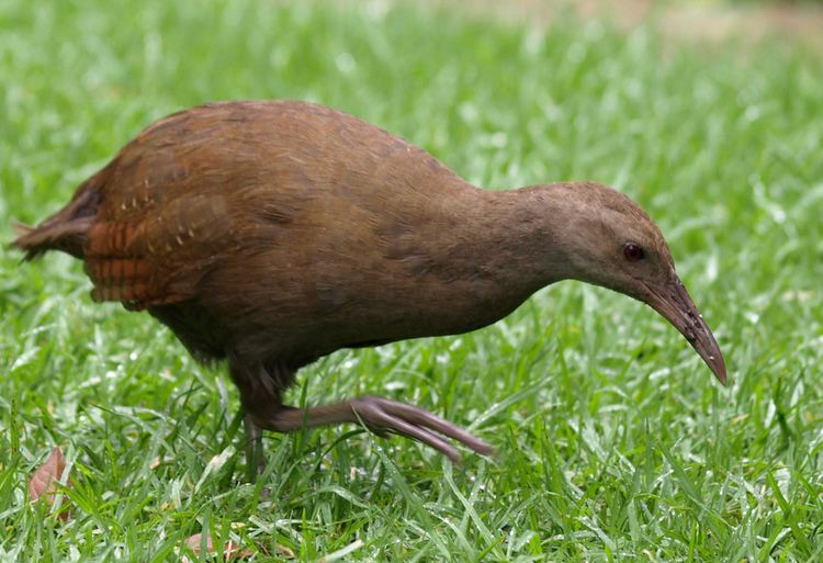 Lord Howe woodhen Lord Howe Woodhen This flightless rail unique to Lord How Flickr