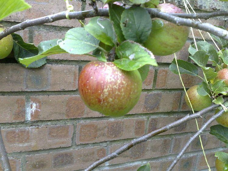 Lord Lambourne (apple)