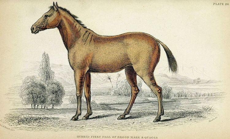 Lord Morton's mare