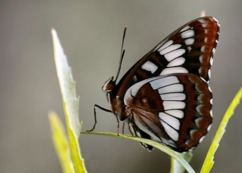 Lorquin's admiral Lorquin39s Admiral butterfly Limenitis lorquini