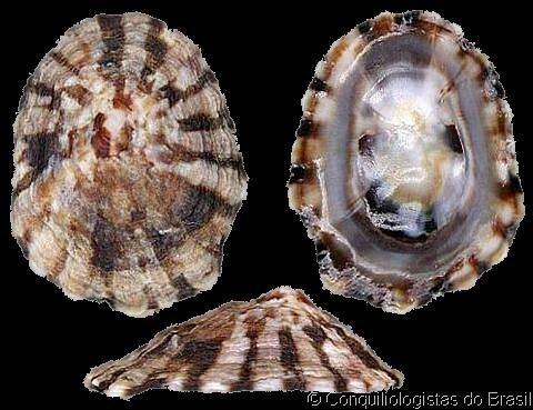 Lottia Shell Catalogue Family LOTTIIDAE