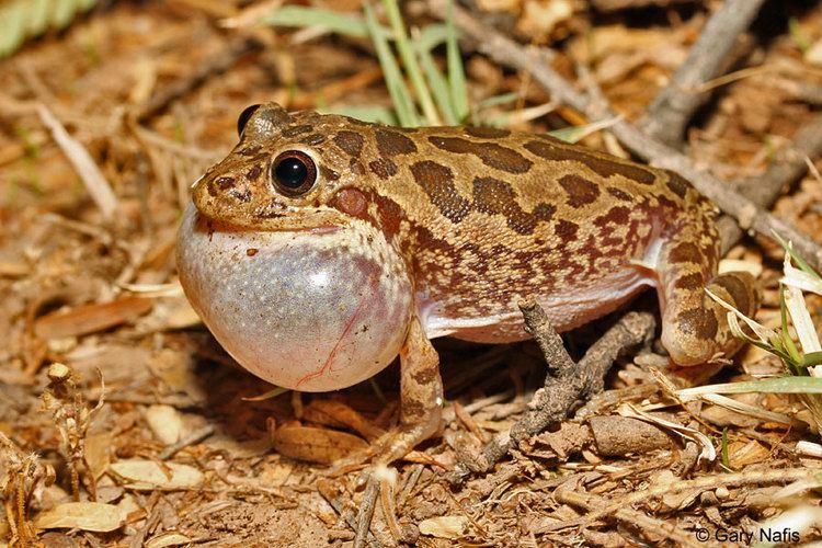 Lowland burrowing tree frog wwwcaliforniaherpscomnoncalsouthwestswamphibi