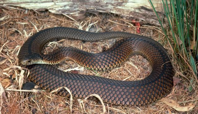 Lowland copperhead Lowland Copperhead Biodiversity of the Western Volcanic Plains