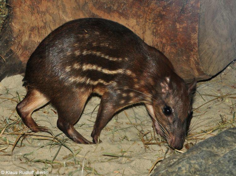 Lowland paca Image Cuniculus paca Lowland Paca BioLibcz