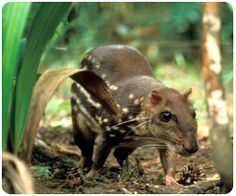 Lowland paca lowland paca Cuniculus paca Cute Critters Pinterest