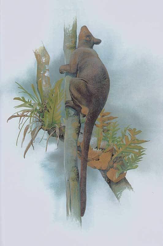 Lowlands tree-kangaroo papuaweborggbrefflannery1996schouten113jpg
