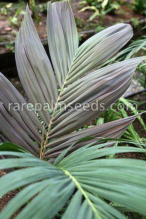 Loxococcus Loxococcus rupicola Palmpedia Palm Grower39s Guide