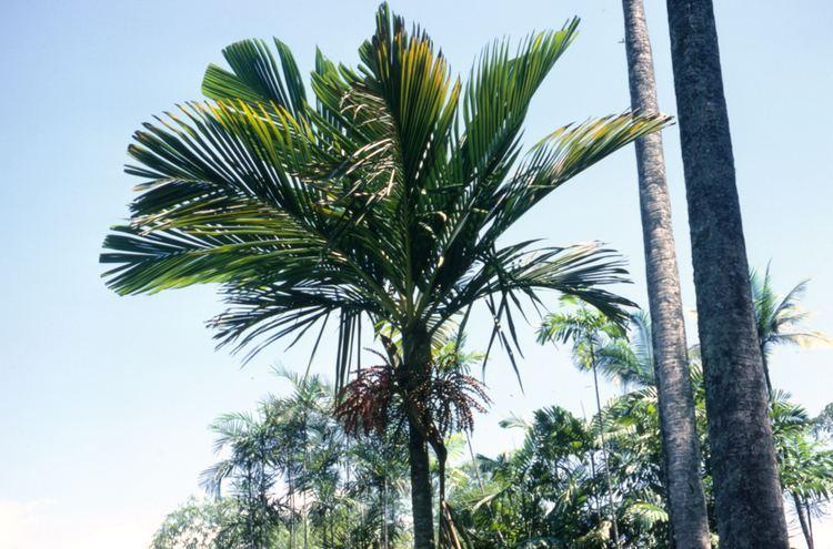 Loxococcus palmworldorg Loxococcus rupicola