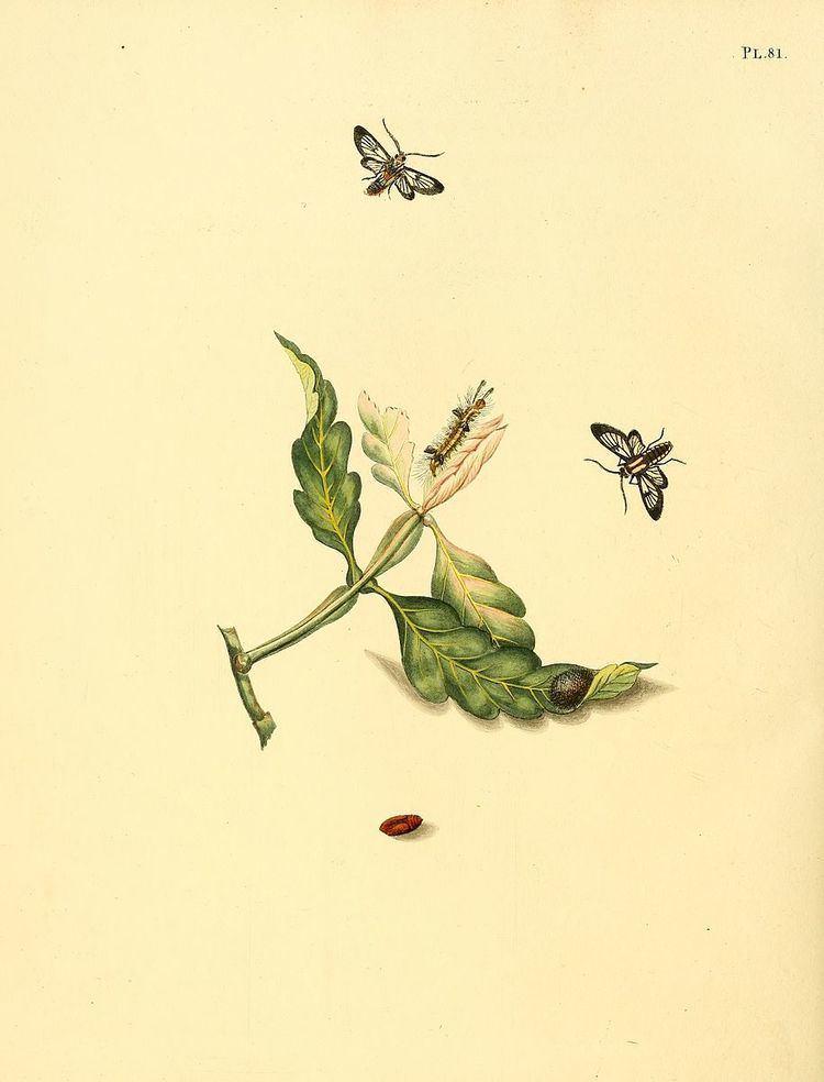Loxophlebia diaphana