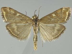 Loxostege Loxostege sticticalis Beet Webworm Moth Discover Life