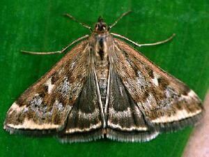 Loxostege Moth Photographers Group Loxostege sticticalis 5004