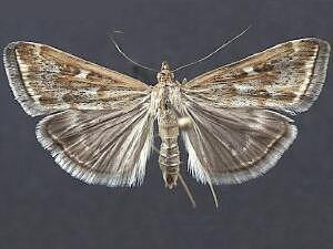 Loxostege sticticalis Moth Photographers Group Loxostege sticticalis 5004