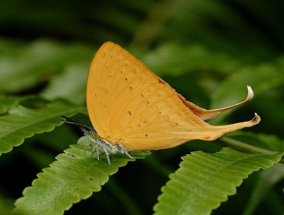Loxura atymnus Butterflies of Malaysia Loxura atymnus
