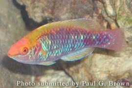 Lubbock's wrasse FishDB Lubbock39s Fairy Wrasse
