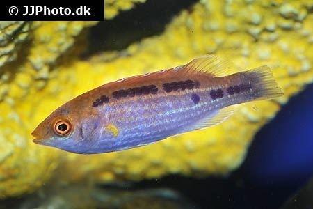 Lubbock's wrasse Multicolor Lubbock39s Fairy Wrasse Cirrhilabrus lubbocki in aquarium
