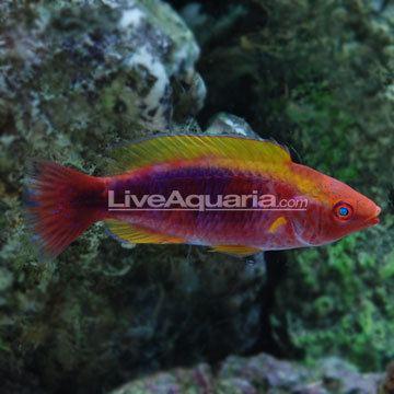 Lubbock's wrasse Saltwater Aquarium Fish for Marine Reef Aquariums Multicolor