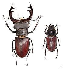 Lucanus cervus httpsuploadwikimediaorgwikipediacommonsthu