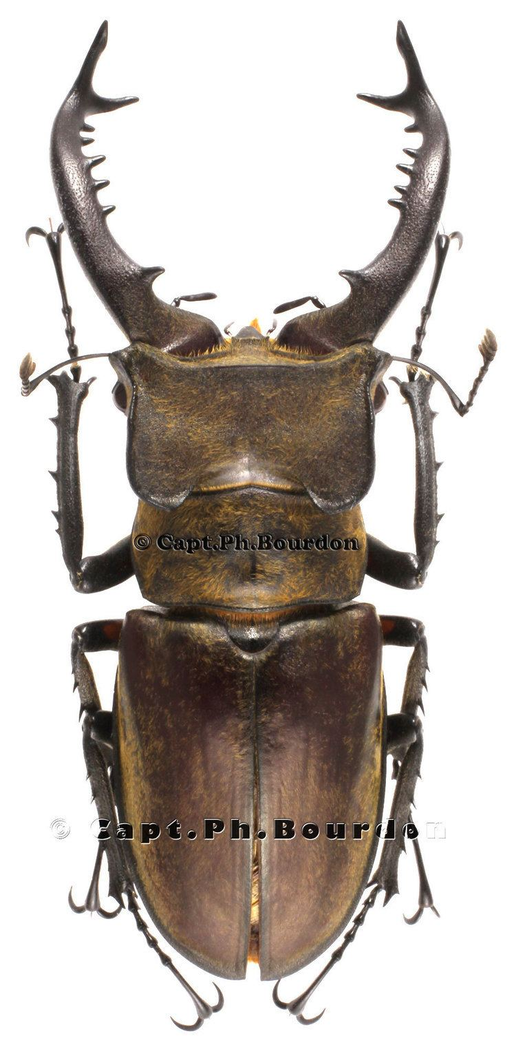 Lucanus maculifemoratus Lucanus maculifemoratus taiwanus ColeopteraAtlascom