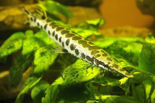 Luciocephalus Luciocephalus pulcher Kurt Alex Flickr