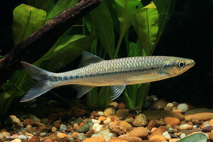 Luciosoma wwwseriouslyfishcomwpcontentuploads201411L