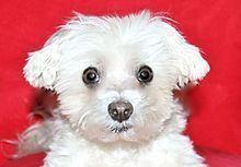 Lucky Diamond (dog) httpsuploadwikimediaorgwikipediaenthumb4