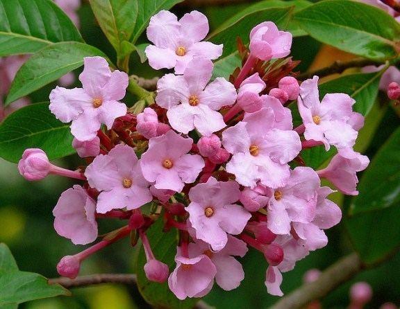 Luculia Fragrant and Winter Flowering Shurb Luculia gratissima
