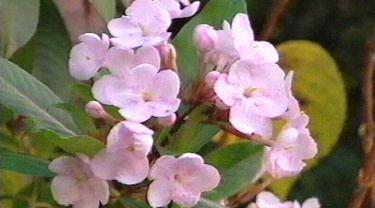 Luculia Gardening Australia Fact Sheet Luculia