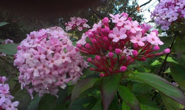 Luculia Talking Plants The delightfully fragrant luculia is very very
