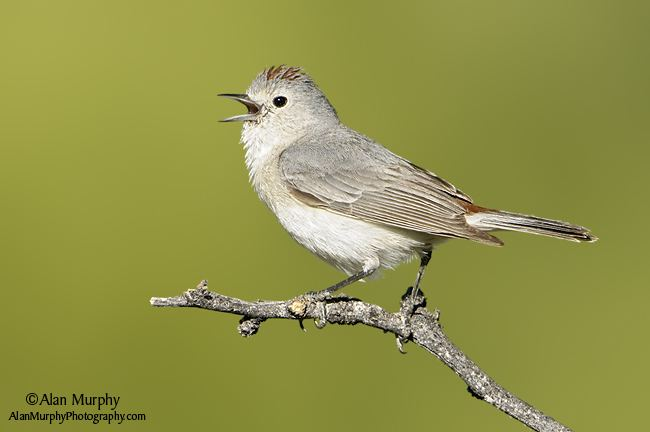 Lucy's warbler wwwalanmurphyphotographycomK62Lucy39sWarbl