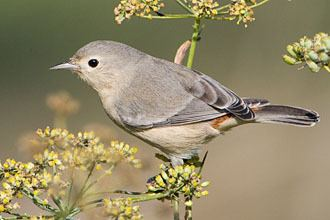 Lucy's warbler Lucy39s Warbler Oreothlypis luciae