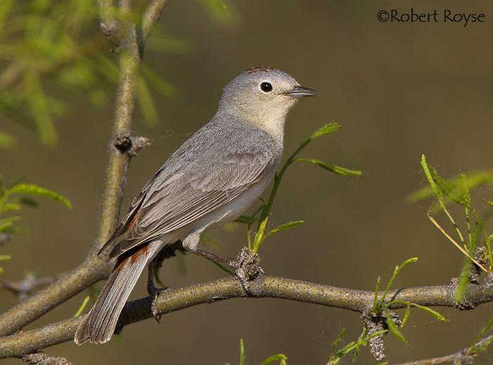 Lucy's warbler Lucy39s Warbler