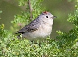 Lucy's warbler Lucy39s Warbler Identification All About Birds Cornell Lab of