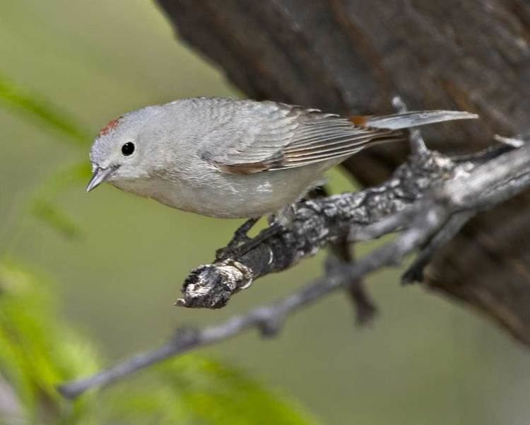 Lucy's warbler Lucy39s Warbler Audubon Field Guide