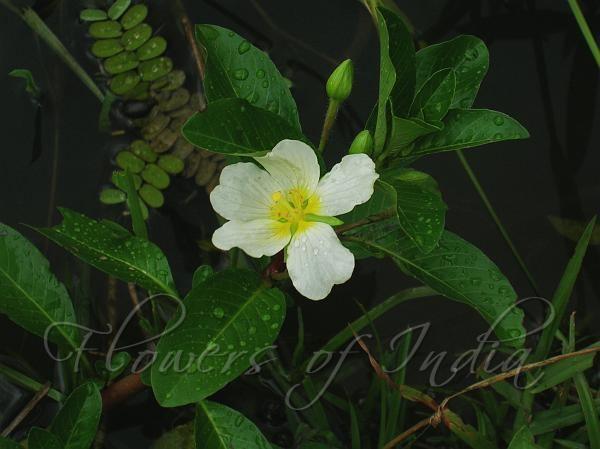 Ludwigia adscendens Ludwigia adscendens Water Primrose