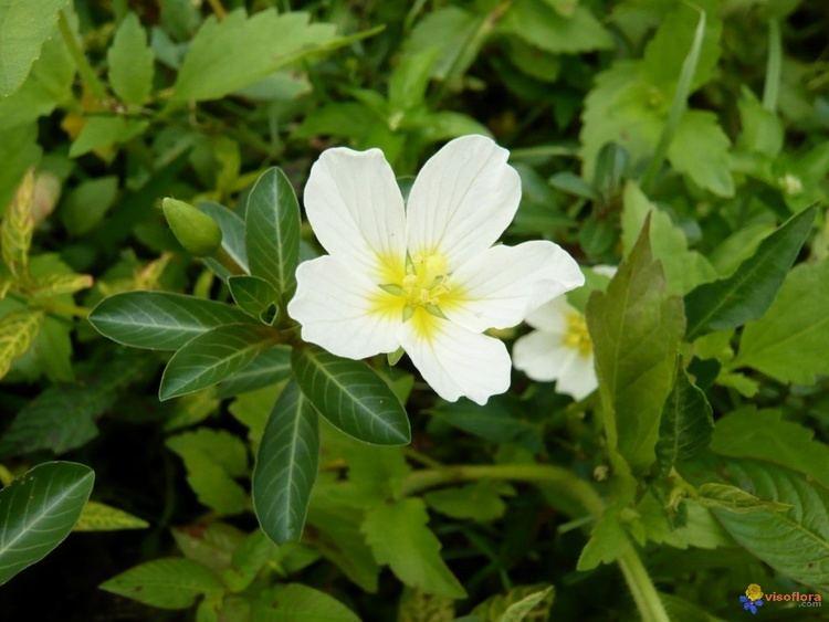 Ludwigia adscendens Ludwigia Hyssopifolia More information