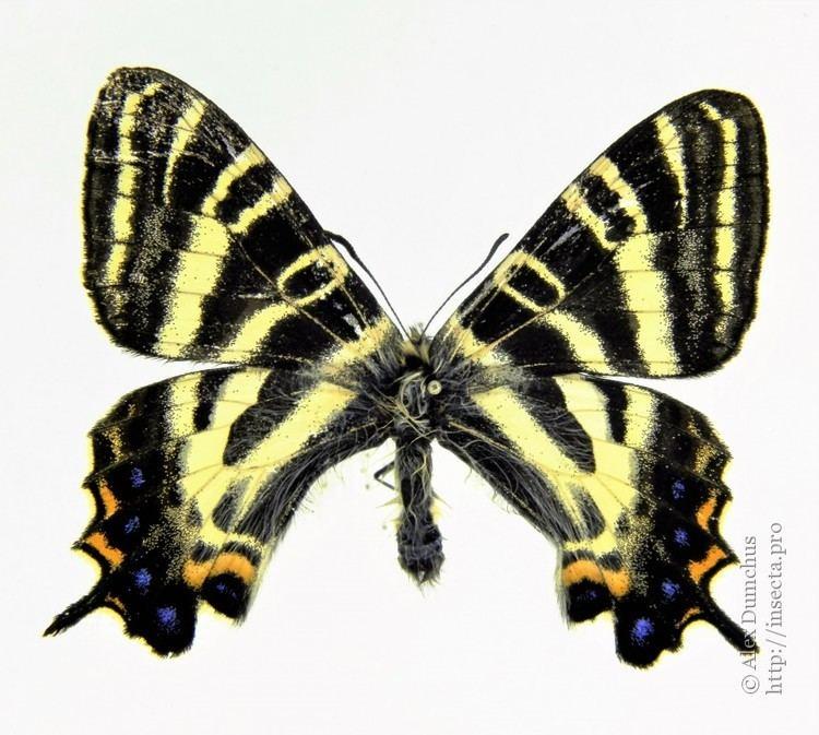 Luehdorfia japonica Luehdorfia japonica