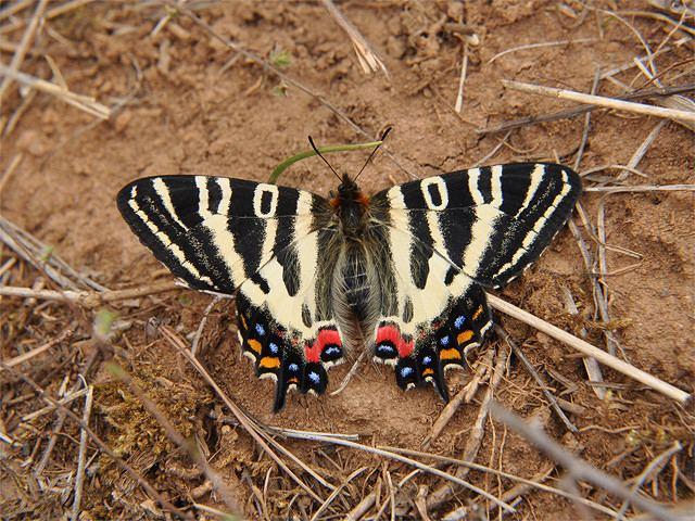 Luehdorfia japonica Luehdorfia japonica Luehdorfia japonica hyroki Flickr