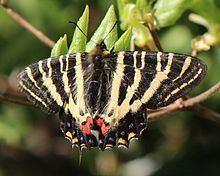 Luehdorfia japonica httpsuploadwikimediaorgwikipediacommonsthu