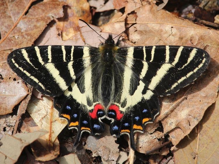 Luehdorfia japonica FileLuehdorfia japonica 20150404JPG Wikimedia Commons