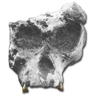 Lufengpithecus Hominoid1101 Lufengpithecus