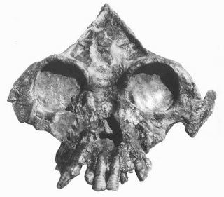Lufengpithecus Researchers Discover Rare Fossil Ape Cranium In China AnimalsPets