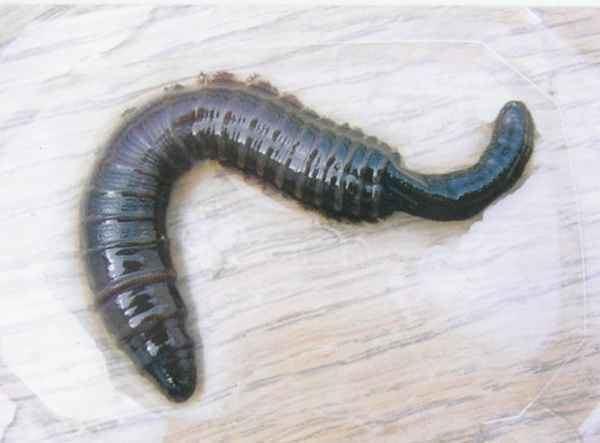 Lugworm the lugworm or sandworm Arenicola marina